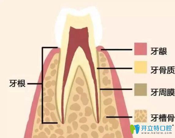牙齿组织结构