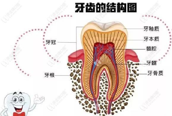 牙齿的结构图